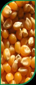 Gamme Maïs grain et fourrage